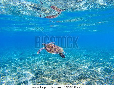 Green turtle in sea water. Marine tortoise swims in shallow seawater. Green sea turtle underwater photo. Sunny tropical lagoon and marine animal. Endangered marine species. Tropical seashore wildlife