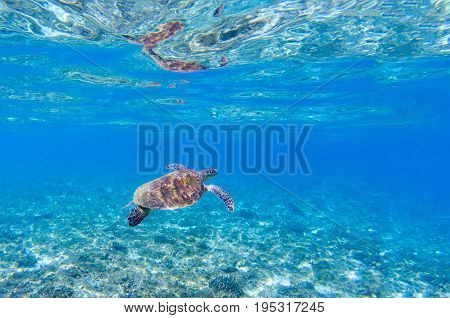 Sea turtle in blue water. Marine tortoise swims in shallow seawater. Green sea turtle underwater photo. Sunny tropical lagoon and marine animal. Endangered marine species. Tropical seashore wildlife
