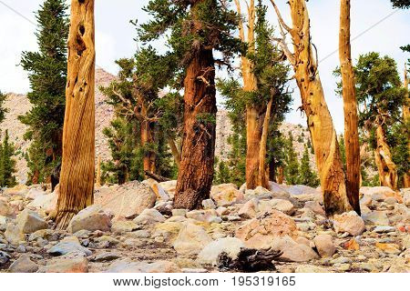 Lodgepole Pine Trees also known as twisted pines taken in the high elevations of the Sierra Nevada Mountains, CA
