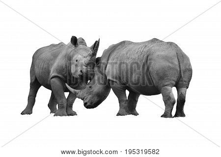 Two rhinoceros fighting cut out and isolated on a white background black and white monochrome image