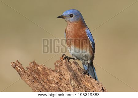 Male Eastern Bluebird (Sialia sialis) on a perch with a brown background