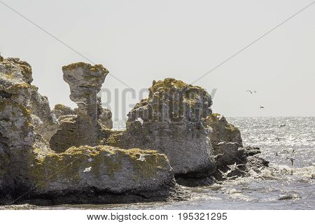 Sea Stacks at Gotland Sweden by ocean with a lot of Black-headed gulls.