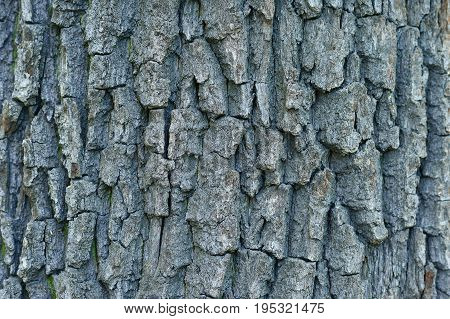 Textural background bark of acacia. Flora background