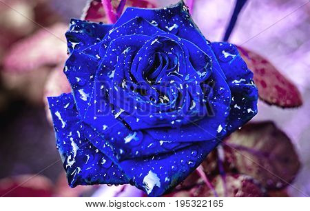 Beautiful Close-up Rose On Bush In Garden With Water Drops. Bud Of Blue Rose With Water After Rain,