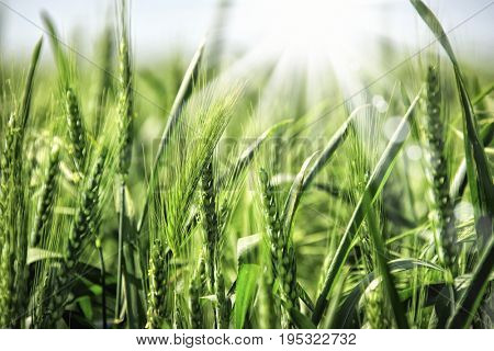 close up wheat field and sunlight