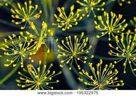Fennel Flowers Closeup Background. Green Natural Background With Flowers Of Dill, Macro Photo