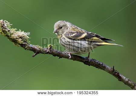A female siskin sit on a branch looking slightly down to the left