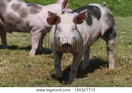 Young duroc breed pig on farm field summertime