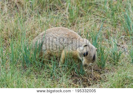 Prairie Dog Examines A Hole In The Ground