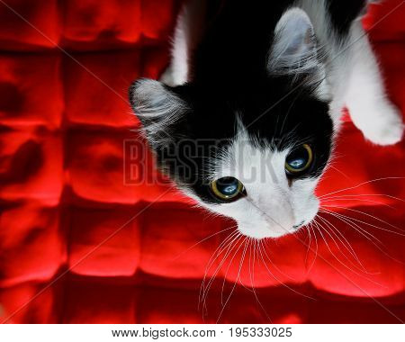 Funny kitten on a red cushion. Cat on a red buckwheat cushion