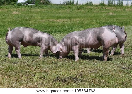 Duroc breed pigs grazing at animal farm on pasture