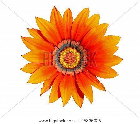 Flower of orange gazania isolated on white closeup