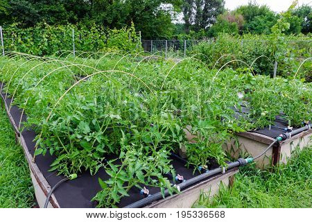 Weed control - growing tomatoes in Spunbond Nonwoven