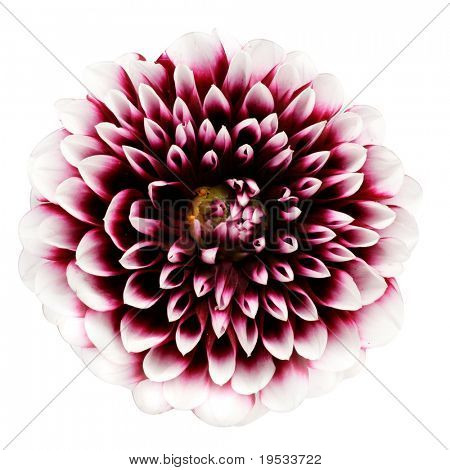 Pink dahlia isolated on a white background