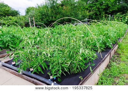 Tomato Bushes Grown On A Polypropylene Spunbond Agriculture Nonwoven. Weed Barrier.