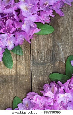 pink rhododendron blossom and green leaves on weathered wood