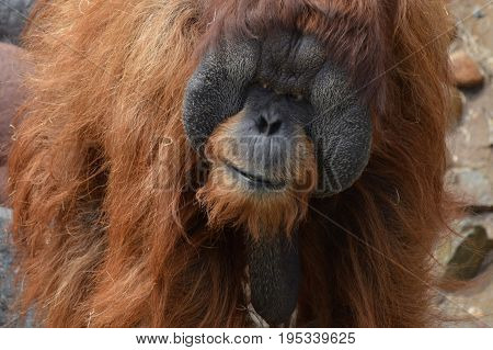 A male orangutan in the outdoors during summer