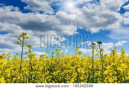 Natural agricultural rape plantation. Fields with yellow and green nature plants.soft rapeseed background with canola blossoms. Selective focus.