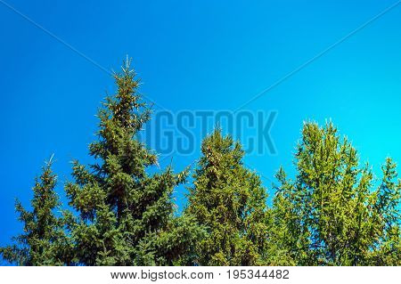 Spruce In The Summer