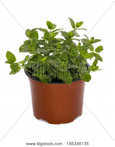 Bush of Moroccan mint in a pot on a white background
