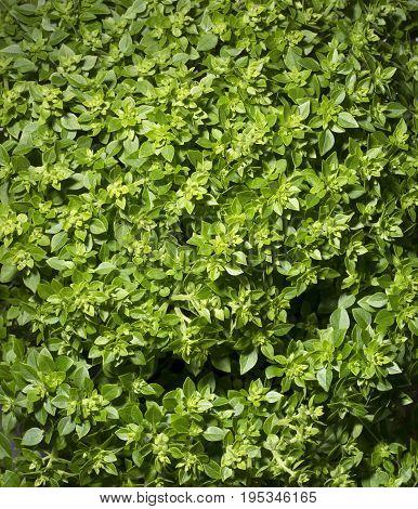 Fresh leaves of Greek dwarf basil closeup