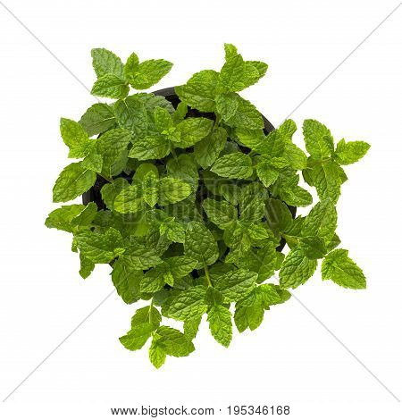 Fresh leaves of Moroccan mint on a white background