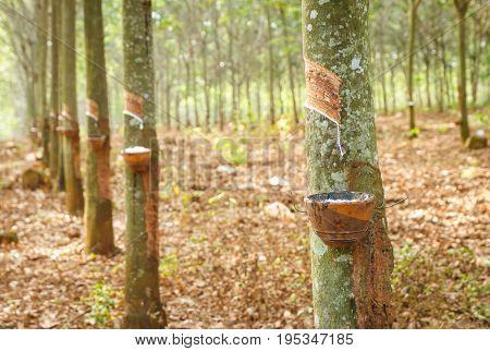rubber latex from rubber tree farm at thailand