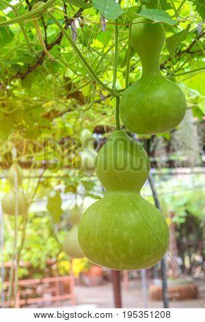 Hanging Winter Melon In The Garden Or Wax Gourd, Chalkumra In Farm