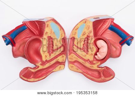 Close-up of Internal organs dummy on white background. Human anatomy model. Female reproductive system.