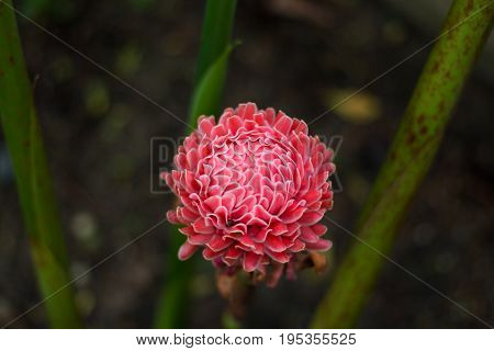 red torch ginger tropical flower (Etlingera elatior (Jack) R.M. Smith) in garden