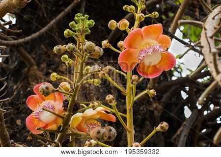 Sal flower or shal flower or cannon ball flower