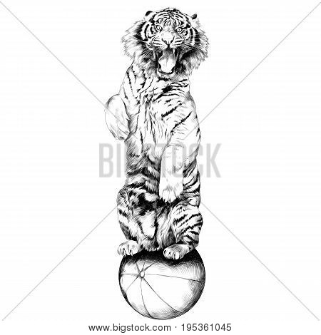 the tiger stands on hind legs with open mouth at the circus on a hot air balloon sketch vector graphics black and white drawing
