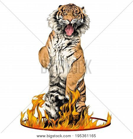 tiger full-length is on its hind legs in a circus ring of fire sketch vector graphics color picture