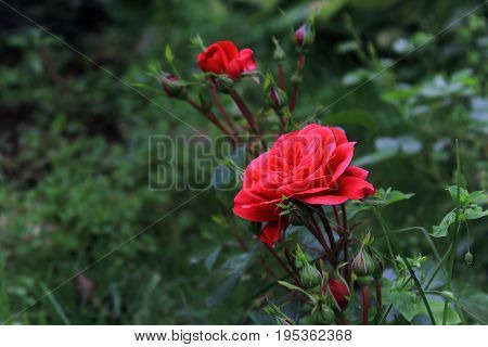 Red rose bush. The shrubs of red roses. Caring for garden roses shrubs. Landscape design