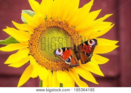 Nice Color Butterfly Perched On Sunflower