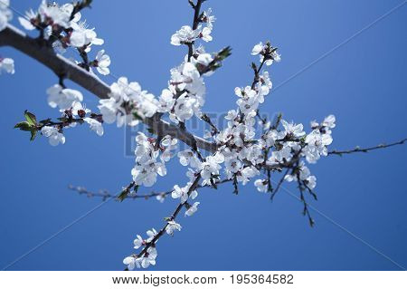cherry blossom  in The Hunza Valley Pakistan