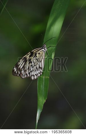 Beautiful tree nymph butterfly clinging to a green leaf.