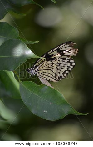Gorgeous swallowtail butterfly on a green leaf.