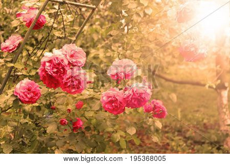 Pink rose in the sunlights in the morning