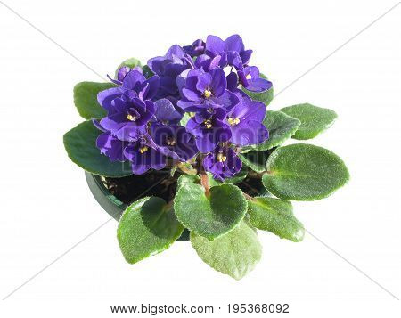Potted African Violet isolated on white background