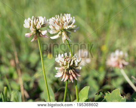 Red flower (Trifolium pratense) flower in the field.