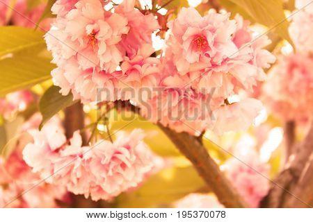 Sakura. Cherry Blossom in Springtime. Beautiful Pink Flowers. Filter applied. Light effect