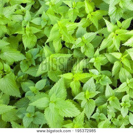 Nettle pattern. Plant background. Green grass texture