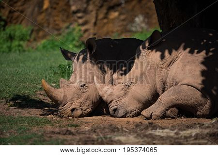 Close-up Of White Rhinoceros Dozing In Shade