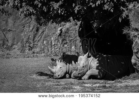White Rhinoceros Dozing In Shade In Mono