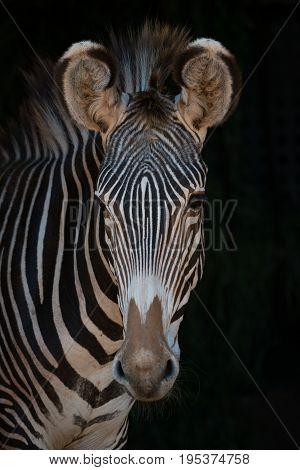 Close-up Of Grevy Zebra Looking At Camera