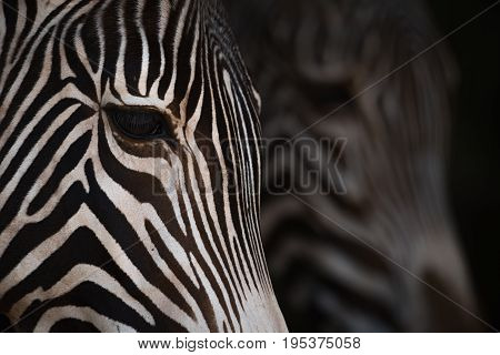 Close-up Of Grevy Zebra Heads From Side