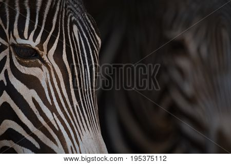 Close-up Of Two Heads Of Grevy Zebra