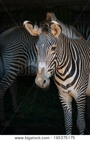 Close-up Of Grevy Zebra With One Behind
