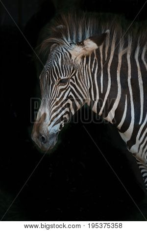 Close-up Of Grevy Zebra With Messy Mane